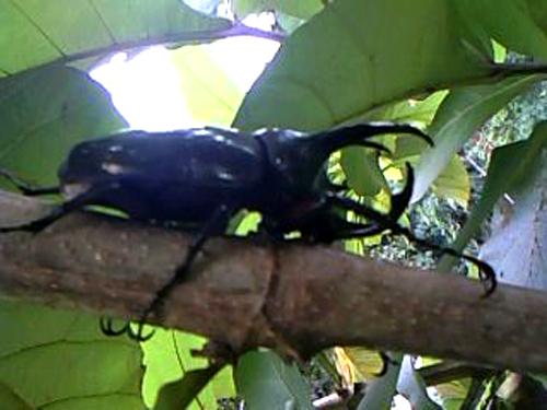 Kumbang 3