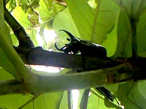 Kumbang 1